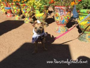 Bella posing with her bandan by some of the potted plants at the Desert Botanical Garden